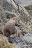 Alpine Ibex in winter, Capra ibex, Gran Paradiso National Park, Italy Stock Photography