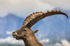 Alpine ibex (Capra ibex) in Mont Blanc, France Stock Image