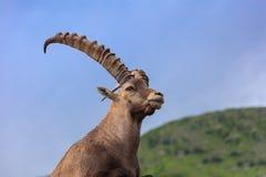 Alpine ibex Capra ibex in Mont Blanc, France Royalty Free Stock Photos