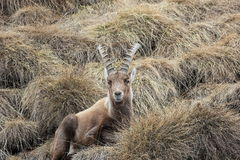 Alpine ibex. Capra ibex. Swiss Alps, Valais, Switzerland. The Alpine ibex Capra ibex, also known as the steinbock or bouquetin, is a species of wild goat that royalty free stock image