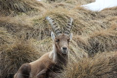 Alpine ibex. Capra ibex. Swiss Alps, Valais, Switzerland. The Alpine ibex Capra ibex, also known as the steinbock or bouquetin, is a species of wild goat that royalty free stock photos