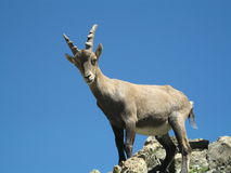 Alpine ibex  (Capra ibex). Young Alpine ibex on a cliff. Alpine ibex  is a species of wild goat that lives in the mountains of the European Alps . It is also Stock Images