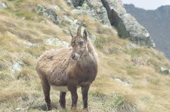 Alpine ibex  (Capra ibex) Stock Photos