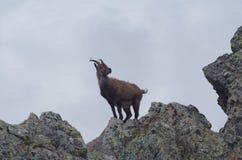 Alpine ibex  (Capra ibex) Stock Photography