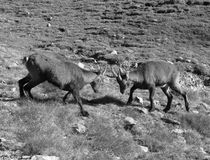 Alpine ibex  (Capra ibex). Young specimens of Alpine ibex, clash in mountain pasture. Alpine ibex (Lat. Capra ibex) is a wild species of wild goat that lives in Royalty Free Stock Photography