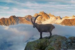 Alpine Ibex Capra Ibex on the Mont Blanc Monte Bianco background. Misty summer morning in the Vallon de Berard Nature Reserve. royalty free stock photo