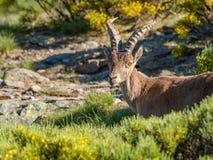Alpine ibex (Capra pyrenaica) on the mountain in a colorful spri Stock Photo