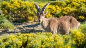 Alpine ibex (Capra pyrenaica) on the mountain in a colorful spri Stock Image