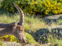 Alpine ibex (Capra pyrenaica) on the mountain in a colorful spri Royalty Free Stock Photos
