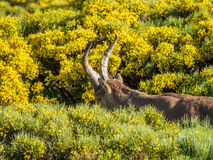 Alpine ibex (Capra pyrenaica) on the mountain in a colorful spri. Ng in Sierra de Gredos mountain range (Spain Stock Images