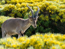 Alpine ibex (Capra pyrenaica) on the mountain in a colorful spring stock photos