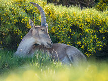 Alpine ibex (Capra pyrenaica) on the mountain in a colorful spring royalty free stock images