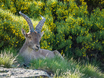 Alpine ibex (Capra pyrenaica) on the mountain in a colorful spri. Ng in Sierra de Gredos mountain range (Spain Royalty Free Stock Images