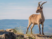 Alpine ibex (Capra pyrenaica) on the summit against blue sky Royalty Free Stock Image