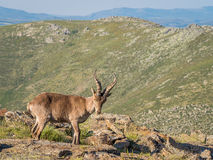 Alpine ibex (Capra pyrenaica) on the summit of the mountain. In Sierra de Gredos mountain range (Spain Royalty Free Stock Photography