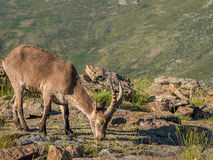 Alpine ibex (Capra pyrenaica) on the summit of the mountain. In Sierra de Gredos mountain range (Spain Stock Images