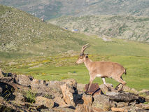 Alpine ibex (Capra pyrenaica) on the summit of the mountain Stock Images
