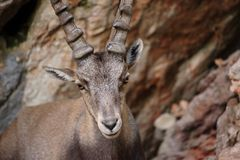 Alpine Ibex Stock Images