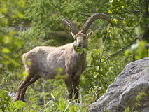 Alpine ibex eating leaves Stock Images