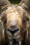 Alpine Ibex Extreme close-up of face. Royalty Free Stock Image