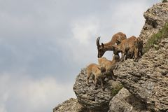 Alpine ibex family on Mt Stockhorn Royalty Free Stock Photography
