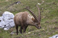 Alpine ibex feeding Royalty Free Stock Image