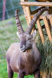 Alpine Ibex by the feeding ground Royalty Free Stock Photo