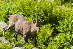 Alpine Ibex female Stock Images