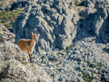 Alpine ibex female on the top of the valley royalty free stock photography