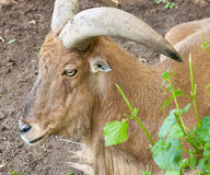 Alpine ibex goat Stock Images