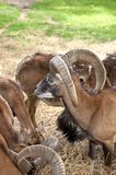 Alpine ibex goats eating Stock Image