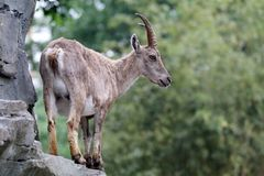 Alpine Ibex. An Alpine Ibex with a green background royalty free stock photography