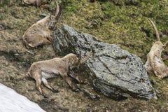Alpine ibex Stock Photography
