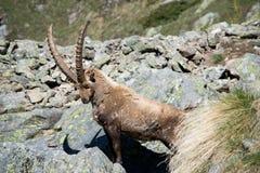 Alpine Ibex Royalty Free Stock Photos