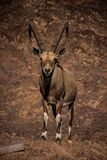 Alpine ibex with huge horns royalty free stock images