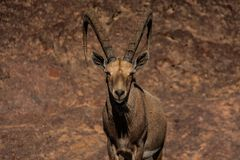 Alpine ibex with huge horns royalty free stock photos