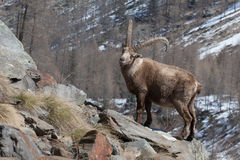 Alpine Ibex in Italian Alps Royalty Free Stock Images