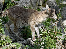 Alpine ibex kid 1 Royalty Free Stock Photos