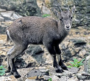 Alpine ibex kid 2 Royalty Free Stock Photos