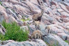 Alpine ibex with kids Stock Photo