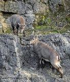 Alpine ibex kids 1 Stock Image