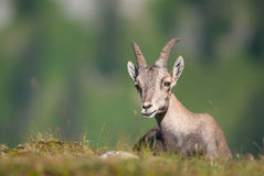 Alpine Ibex (lat. Capra ibex) in swiss alps Stock Photography