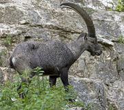Alpine ibex 7 Stock Photo