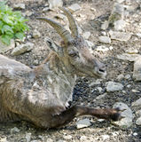 Alpine ibex 8 Royalty Free Stock Image