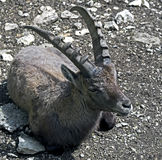 Alpine ibex 9 Stock Images