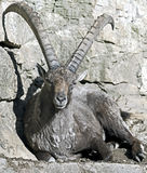 Alpine ibex 10 Stock Photography