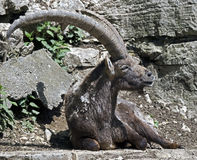 Alpine ibex 11 Royalty Free Stock Photos