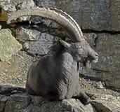 Alpine ibex 15 Royalty Free Stock Photography