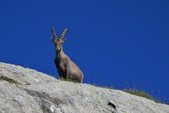 Alpine ibex looking down from a rock Stock Images