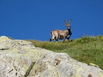 Alpine ibex looking at me Royalty Free Stock Image